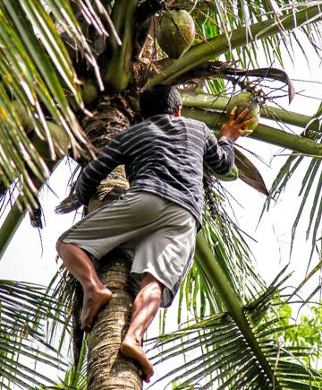 coconut water manufacturing Kokoswasser Herstellung